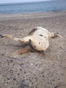 Cavallo morto su spiaggia 22-3-2015