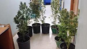 Piante_marijuana_Polizia