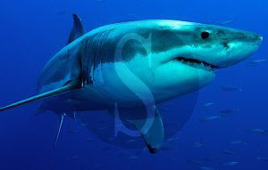 squalo_bianco