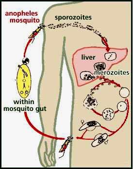 malaria in the body