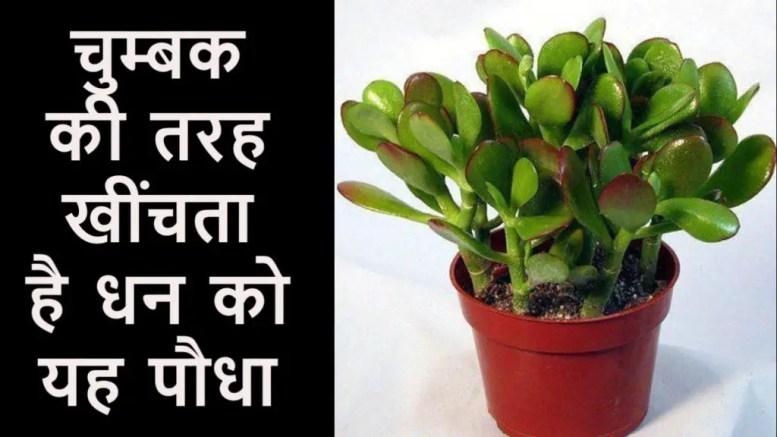 क्रासुला का पौधा