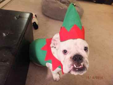 Bulldog Gus Elf