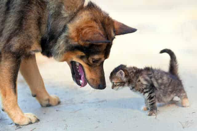 Big Dog Little Kitten