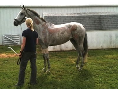 Catch A Star at the University of Pennsylvania's New Bolton Veterinary Center. The mare suffered second-degree burns over nearly 30% of her body as a result of a barn fire. Photo by Caitlin Silliman