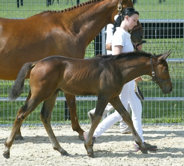 MS Malachai (Lamarque–She Can Dance by First Prize): 2012 First Premium BWP colt, handled by Sarah Owen, at the BWP Keuring at Spy Coast Farm. Photo courtesy of Laurie Haddon