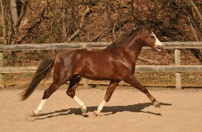 Welsh Pony Stallion- Land's End Love Note