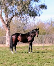 Holsteiner Stallion - Derringer