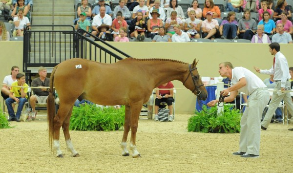 Sport Horse & Pony Auctions Live