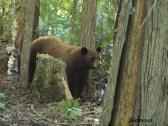 Brown-coloured Black Bear Sow
