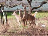 White-tailed Deer bucks in spring