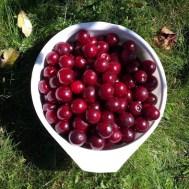 Plukket (nesten) alle kirsebærene i hagen