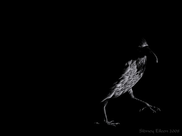 Title: The Rook, Artist: Sidney Eileen, Medium: white pencil on black paper