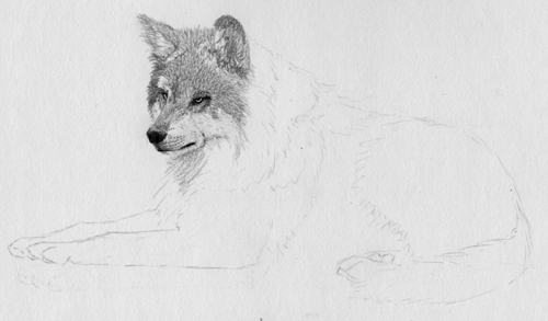 How to Draw Fur with Graphite Pencil From a Reference Photo, by Sidney Eileen