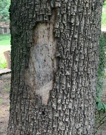 Wound Tree SidTree