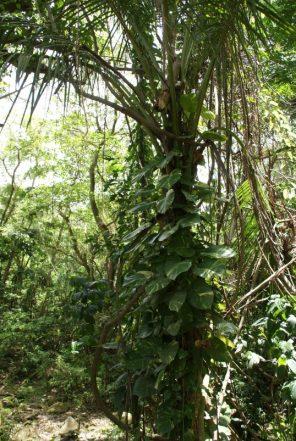 Regenwald St. Kitts