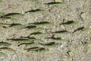 Fische im Fluss Nationalpark Krka Kroatien
