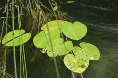 Seerosen im Fluss Nationalpark Krka Kroatien
