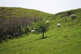 Schafe Nordirland
