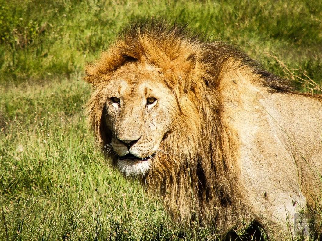 Le roi de la jungle. - Au coeur de la savane africaine - afrique-du-sud, afrique, a-faire