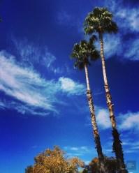 Palmiers - Westward Look Wyndham - Tout sur Tucson - Amérique, États-Unis, Arizona