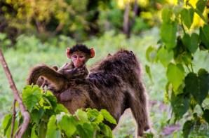 bebe singe - parc national de chobe - Botswana… La nature a l etat pur! - afrique, botswana