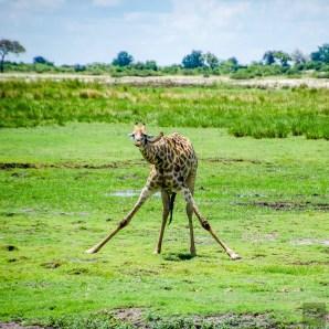 girafe abreuve - parc national de chobe - Botswana… La nature a l etat pur! - afrique, botswana