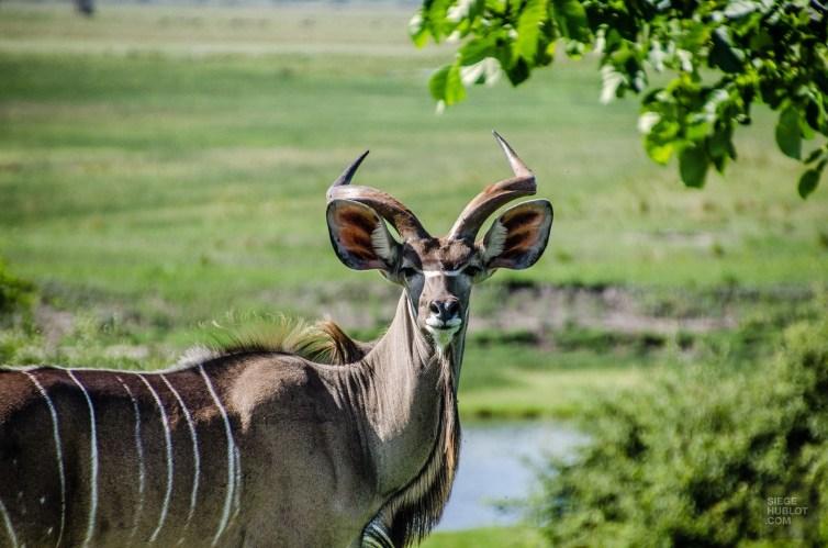 kudu - parc national de chobe - Botswana… La nature a l etat pur! - afrique, botswana