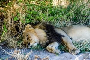 lion male au repos - Reserve naturelle du central Kalahari - Botswana… La nature a l etat pur! - afrique, botswana