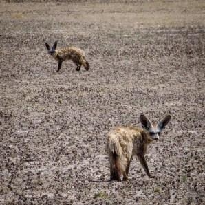 renard a oreille de chauve souris - Reserve naturelle du central Kalahari - Botswana… La nature a l etat pur! - afrique, botswana