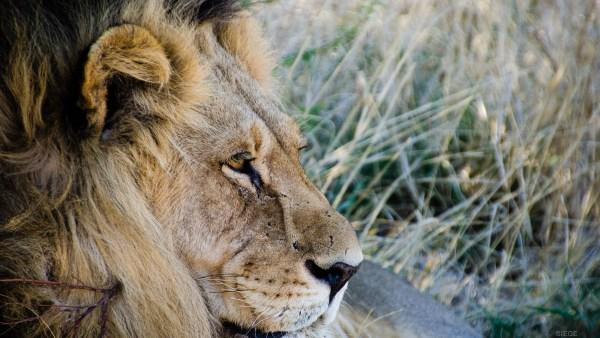portrait lion male - Reserve naturelle du central Kalahari - Botswana… La nature a l etat pur! - afrique, botswana