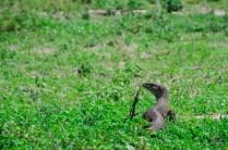 lezard monitor - parc national de chobe - Botswana… La nature a l etat pur! - afrique, botswana