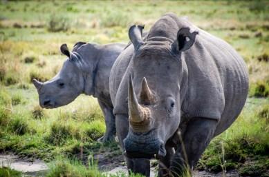 rhinoceros maman bebe - Sanctuaire de rhinoceros de Khama - Botswana… La nature a l etat pur! - afrique, botswana