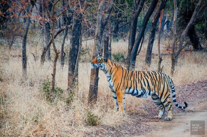tigre 3 - parc national de ranthambore - L Inde du Nord en quatre étapes - Asie, Inde
