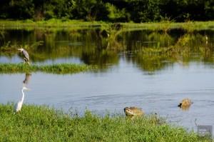 crocodile - Elephants, crocodiles et paons - Sri Lanka, au cœur de l ile - Asie, Sri Lanka