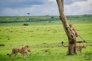 kenya-guepard