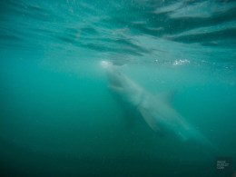 requin blanc sous eau gueule ouverte - face-a-face avec un grand requin blanc - Dose d'adrénaline en Afrique du Sud - Afrique, Afrique du Sud