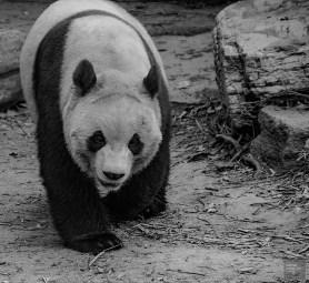 Panda noir et blanc - Beijing - La Grande Muraille de Chine, un lieu mythique - Asie, Chine