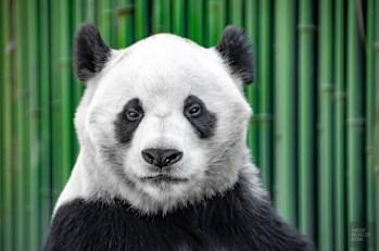 Panda portrait - Beijing - La Grande Muraille de Chine, un lieu mythique - Asie, Chine