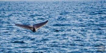 queue baleine bleue - Les baleines de Mirissa - Les plages du Sri Lanka et plus encore - Asie, Sri Lanka