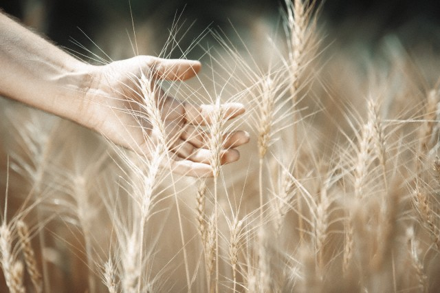 Human hand touching wheat