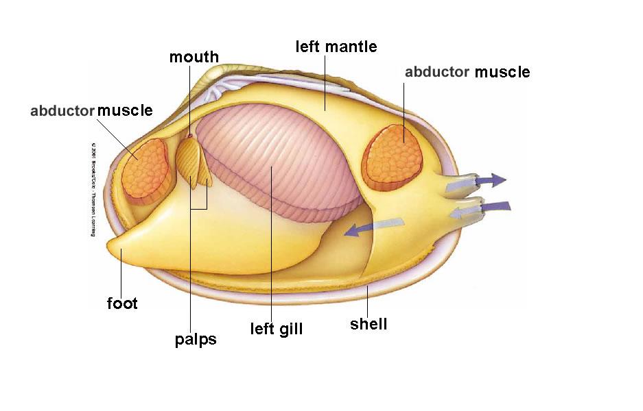 Razor Clam Anatomy Diagram