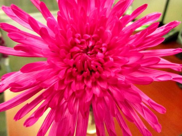 Free Fall Mums Wallpaper Yazoo Tinted Hot Pink Disbuds Mums Chrysanthemum