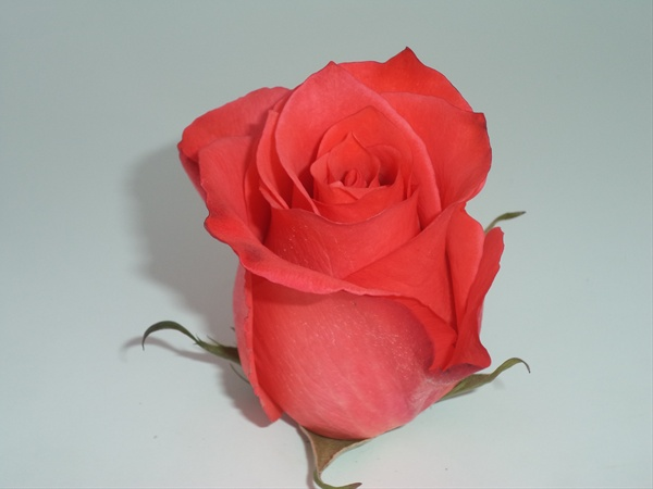 High And Amazing  Standard Rose  Roses  Flowers By