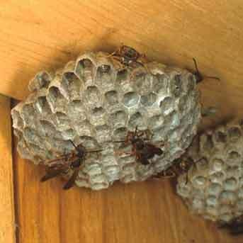 Paper wasp and nest, most commonly found under the eaves of your house