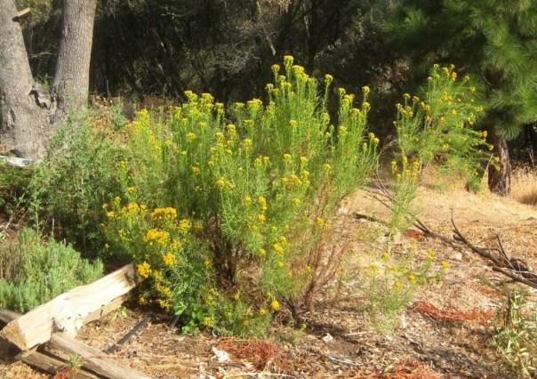 Goldenfleece Ericameria arborescens