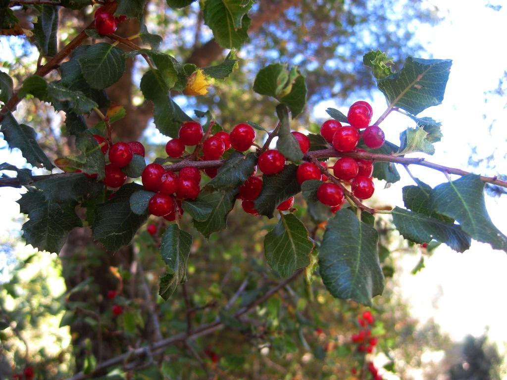 Trees and Shrubs | Sierra Foothill Garden