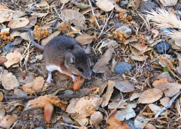 Barely seen Pocket Mouse