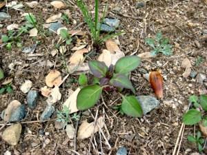 Farewell to spring, Clarkia amoena CA X