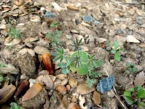 Golden Lupine Lupinus densiflorus 'Ed Gedling' CA I