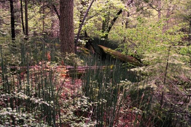 Smooth horsetail, Equisetum laevigatum
